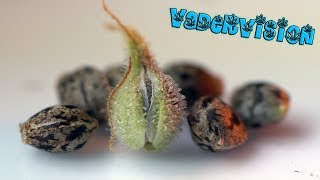 Mowie Wowie Seed Preservation Project Harvest! by VaderVision