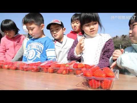 児童がイチゴ収穫体験 三木