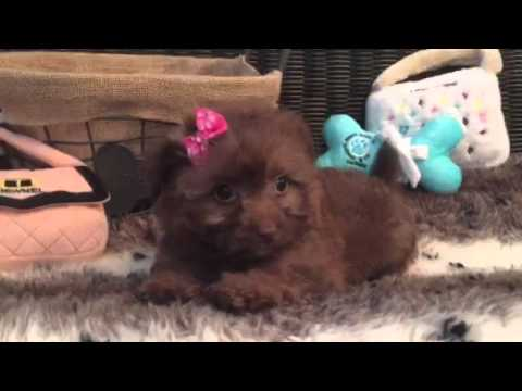 Such a cutie! Pomapoo Puppy!