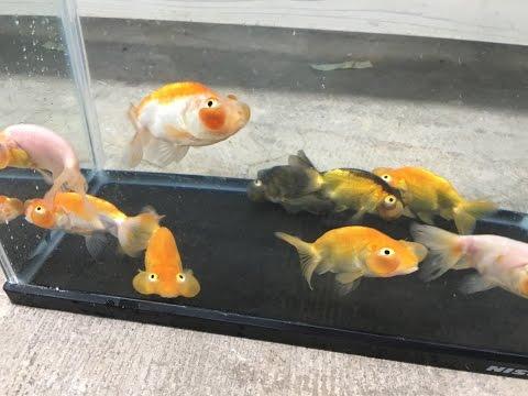 水泡眼 木村産 極上当歳 金魚と遊ぶ.com