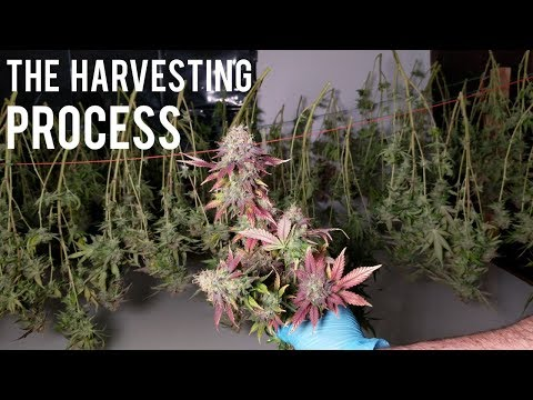 HARVESTING, DRYING, CURING CANNABIS MARIJUANA