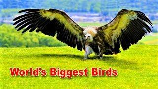 Download Video বিশ্বের সব থেকে বড় ১০টি পাখি | TOP 10 LARGEST LIVING BIRDS IN THE WORLD | Biggest Birds MP3 3GP MP4