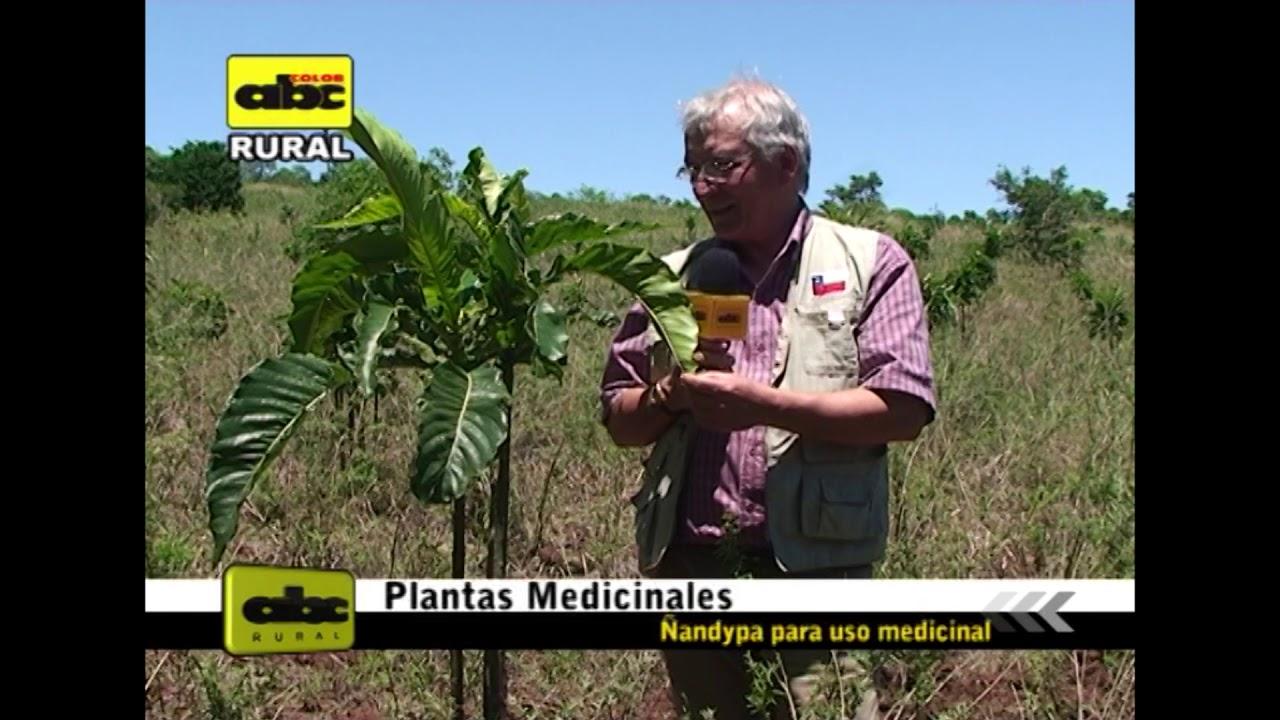 Ñandypa y sus propiedades medicinales