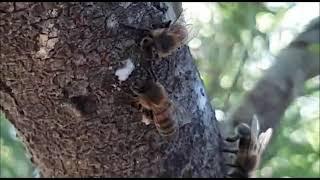 Las abejas saben cuando empieza el invierno y preparan sus colmenas con pro poleo y polen