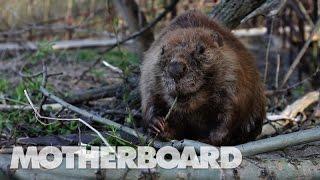 パタゴニアが怯えるビーバーの脅威 チリ アルゼンチンで広がる環境破壊の現状