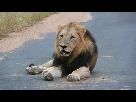 South Africa: the big five at Paul Kruger national park (HD-video).mp4