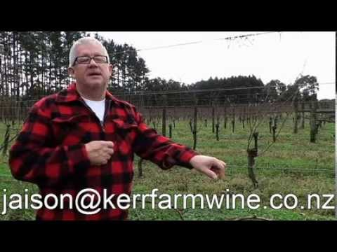 Cane Pruning and Spur Pruning Grapevines. How they look thru the growing season