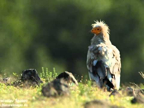 Reportage about Egyptian vulture on BNT 1