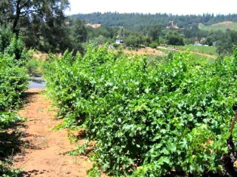 Shenandoah Vineyards -  Amador County California