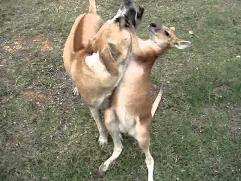 il-cane-e-il-canguro-137