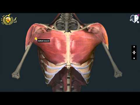 anatomia dei muscoli del torace