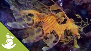 The weedy seadragon and the leafy seadragon are two of the masters of camouflage that make the Australian waters their home. Their vibrant colors and complex bodies allow them to kill their prey without ever being noticed. SUBSCRIBE and discover shocking scenes and the most amazing videos: http://goo.gl/fC5pjCFollow us in:Facebook: https://www.facebook.com/NewAtlantisD...Twitter: https://twitter.com/NewAtlantisDocu