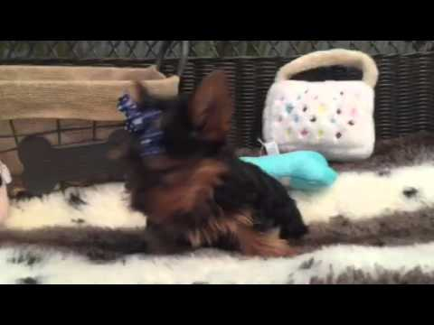 SWEET AND SASSY LITTLE MALE YORKIE