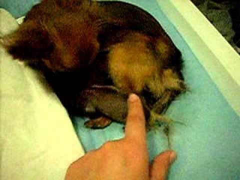 Chihuahua giving birth 4/4
