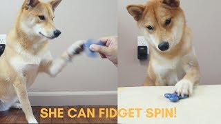 Haru overcame her fear of fidget spinners and learned how to fidget spin herself!!Can we get to 1000 likes on this video?? Thanks guys!Follow us on Instagram @ HaruShibaInu
