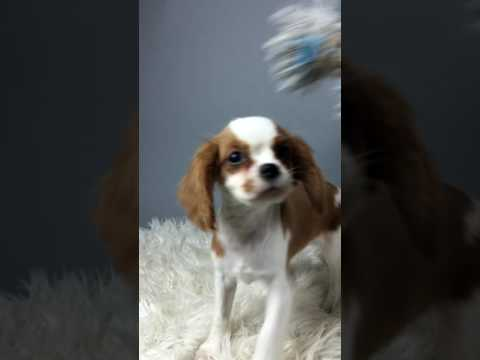 Oliver Is a Blenheim Cavalier King Charles Boy