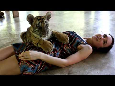 Tiger Cub in Tiger Kingdom, Chiang Mai, Thailand