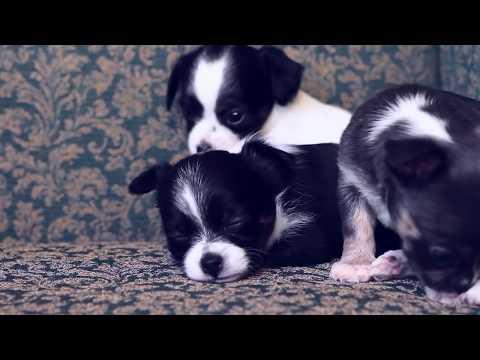 Как выбрать щенка на примере чихуахуа
