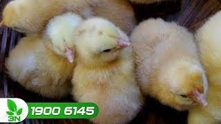 Chăn nuôi gà | Khỏi lo khi đã có cách trị bệnh bạch lỵ cho gà