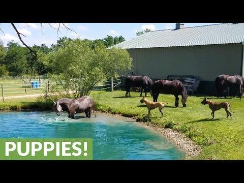 Tanskandoggit seuraavat tarkkana hevosten telmimistä lammessa