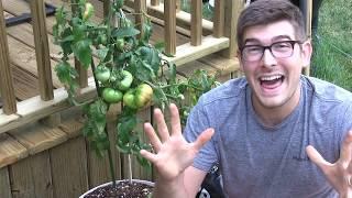 Tasting the Giant Crimson Tomato (87 Year old Tomato)