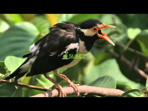 Download Suara Burung Jalak Suren Masteran Variasi 2 MP311