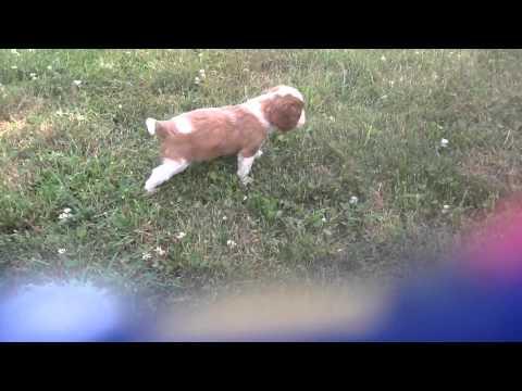 Blenheim Puppy DOB: May 12, 2014