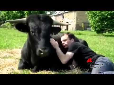 toro salvato dalla corrida ama il suo padrone come un cucciolo!
