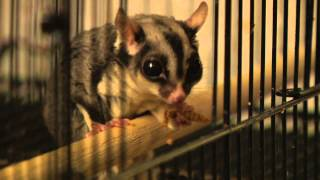 Exotic Pet Vet Smart Fact Series - Sugar Gliders