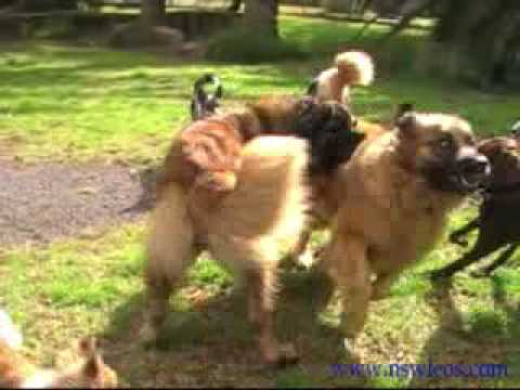 leonbergers just want to have fun!