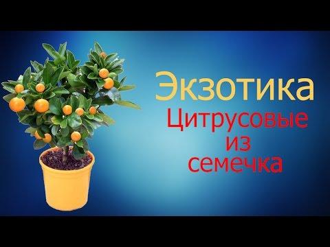Экзотика. Цитрусовые из семечка. Как заставить цвести!!!