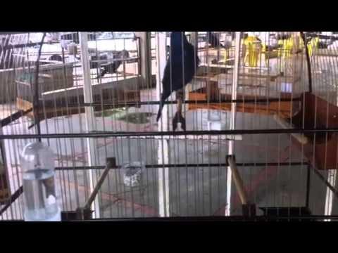 Azulão Sheik na baderna em Passos