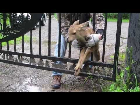 Man Rescue's Baby Deer Stuck in Fence....Aww!