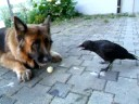 Crow And Dog Play With Ping Pong Ball
