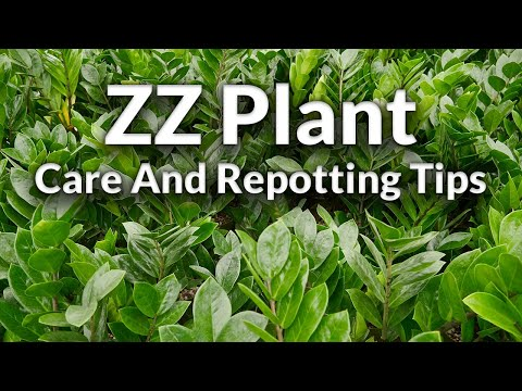 The Awesome ZZ Plant: Care & Repotting Tips