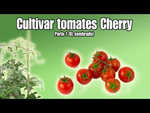 Cultivo del tomate Cherry | Sembrar tomates Cherry | Parte 1