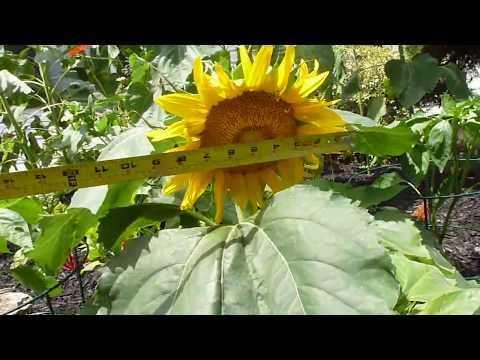 Sunspot Dwarf Gorgeous Sunflower_Sun videos