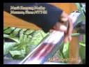 Musik Kampung Maumere