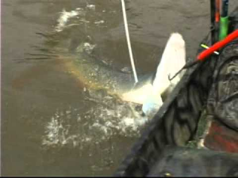 Relentless Pursuit – Bow Fishing for Alligator Gar – part 102
