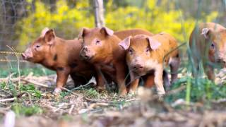 Video Training piglets to an electric fence MP3, 3GP, MP4, WEBM, AVI, FLV Juli 2017