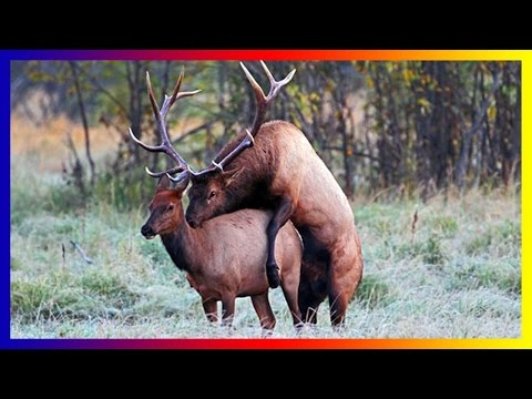 Moose Bull Breed Calling Fighting To Mate And Giving Birth In Nature