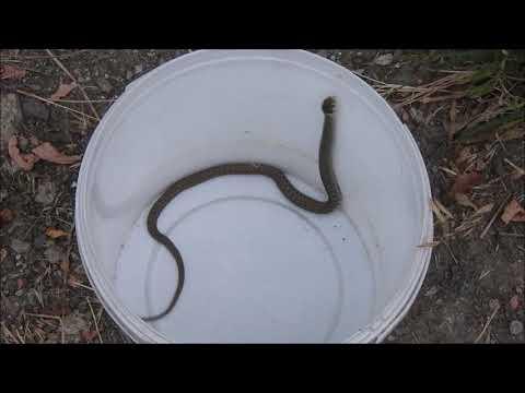 Yarı sucul yılan (Natrix natrix)