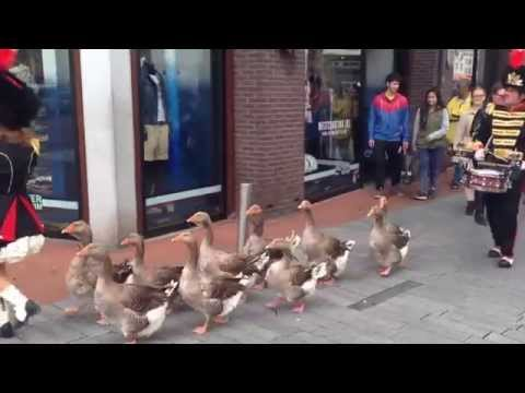 Geese marching in the city