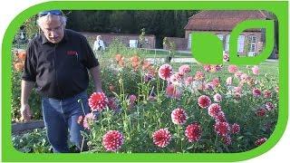 DeliDahlie® Hapet® Hoamatland hat die am besten schmeckenden Blüten