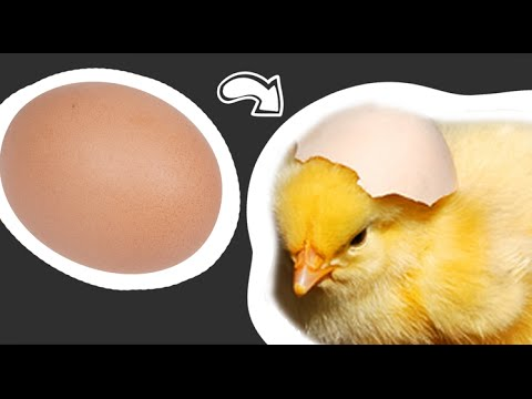 From Egg to Chick (видео)