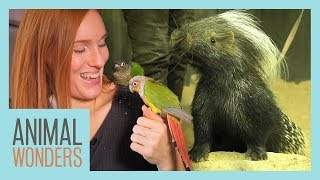 Green Cheek Conures & African Crested Porcupine Hangout! by Animal Wonders