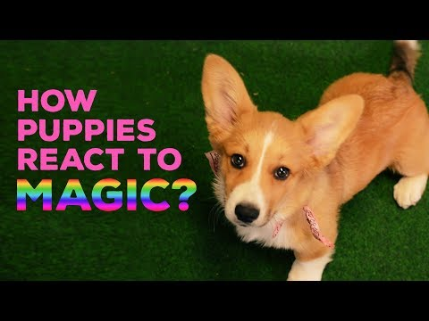 How Puppies React to Magic