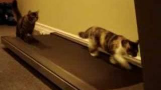 Кошки на беговой дорожке