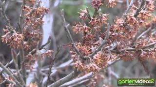 #997 Frühlingszaubernuss Quasimodo - Hamamelis vernalis