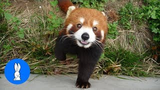 Most Adorable Red Panda // Best Compilation